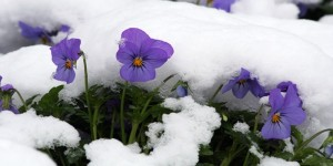 violets-in-snow